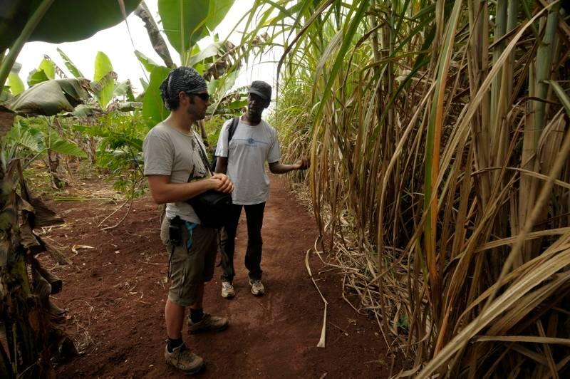 Pola trzciny cukrowej w Ugandzie. Podróż przez Afrykę