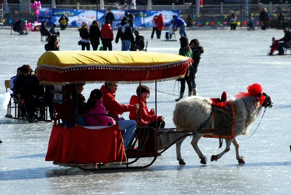 Lama na lodowisku w Pekinie - foto