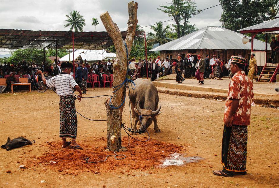 W Indonezji w ofierze składa się zwierzęta