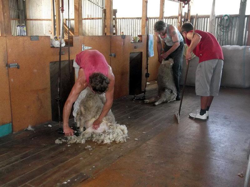 Strzyżenie Owiec - wolontariat w Nowej Zelandii