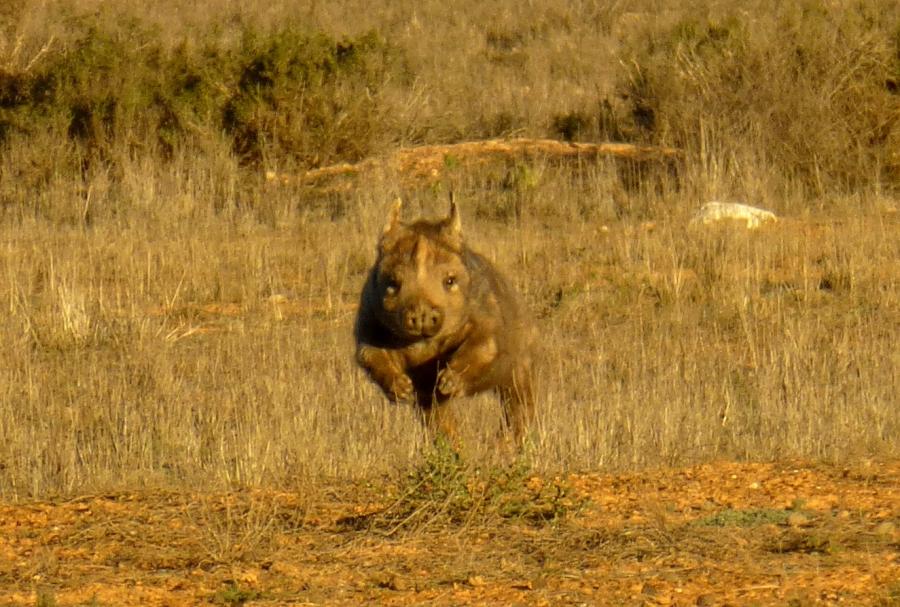 Wombat w natarciu. (Fot. Ania Bunikowska i Tomasz Marchewka)