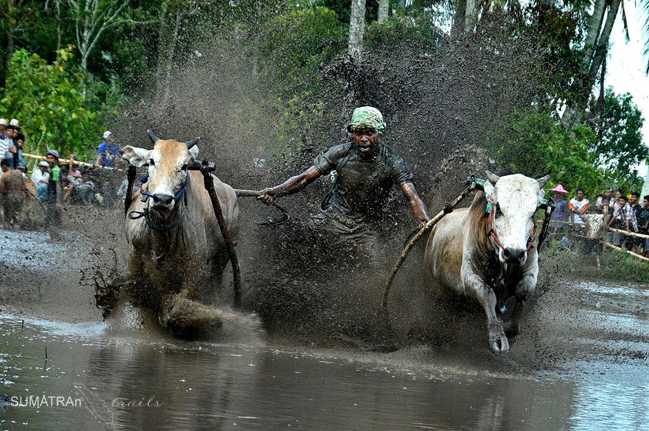 Pacu Jawi to atrakcja turystyczna Sumatry - zdjęcia