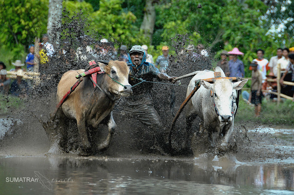 Wyścigi bawołów - foto z Sumatry