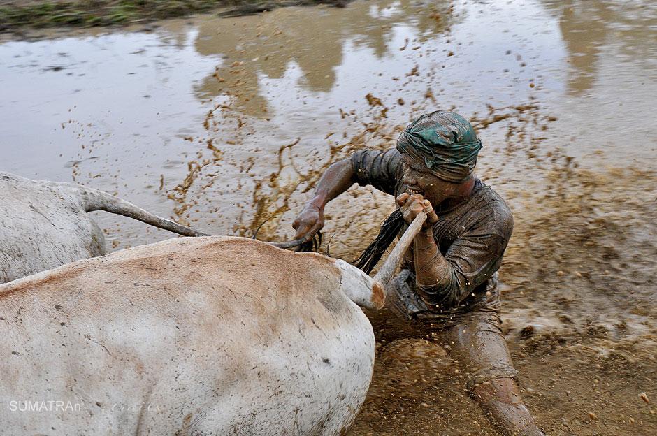 Mieszkaniec Sumatry gryzie byka w ogon