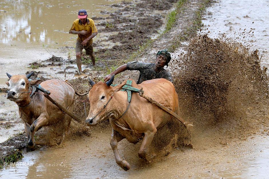Wyścig na polach ryżowych w Indonezji