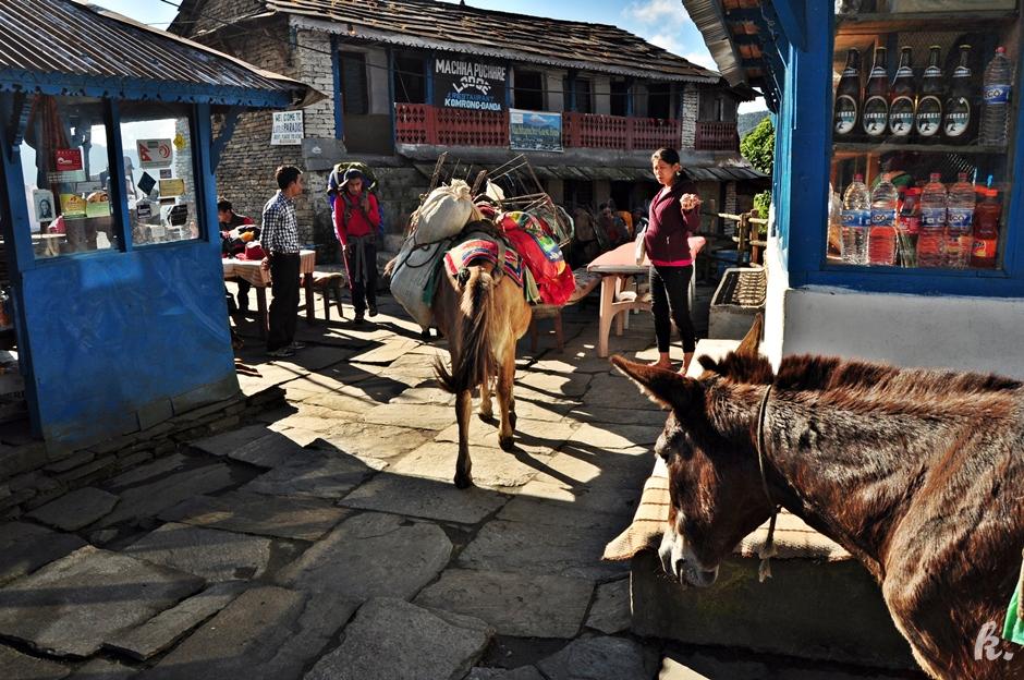 Muły transportowe na himalajskim szlaku