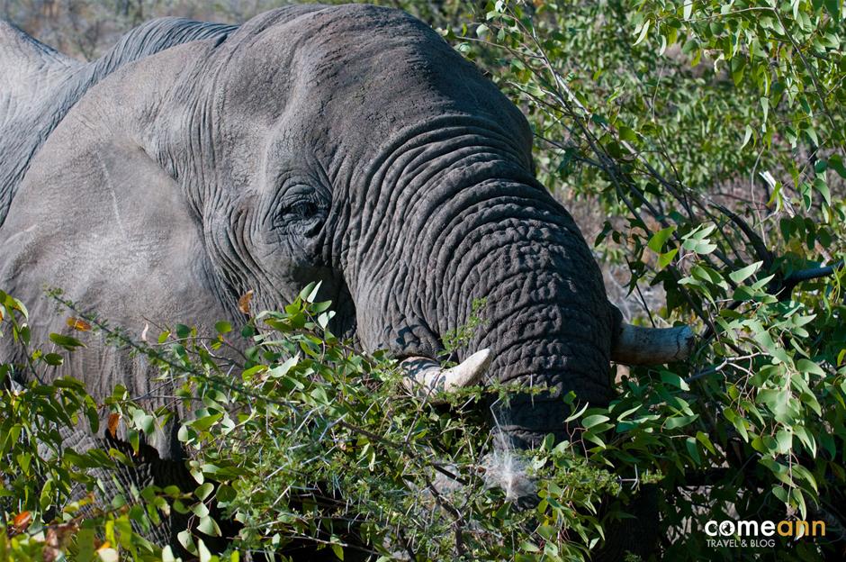 Afrykański słoń - foto
