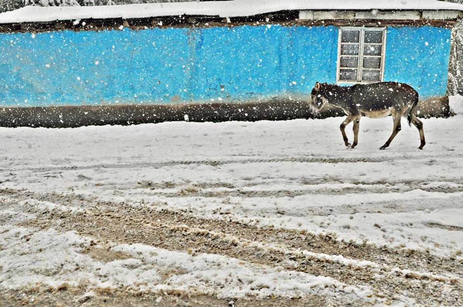 Kirgiski osioł spaceruje po ulicy