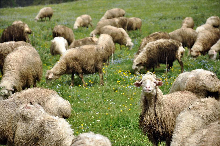Gruzińskie owce - trekking w Tuszetii