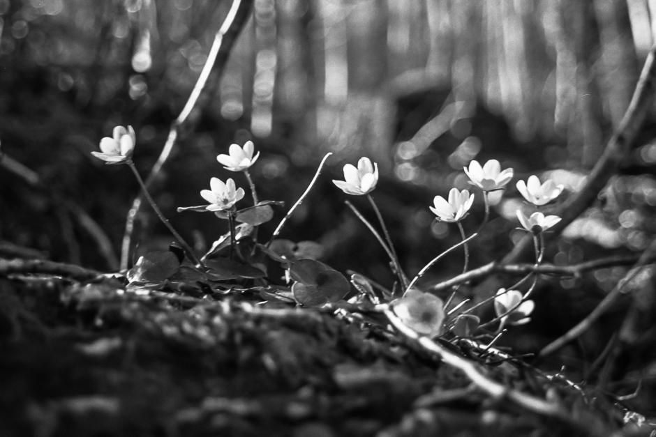 Wiosenne kwiaty w Pirenejach