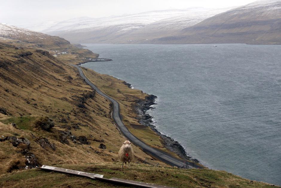 Wypas farerskich owiec