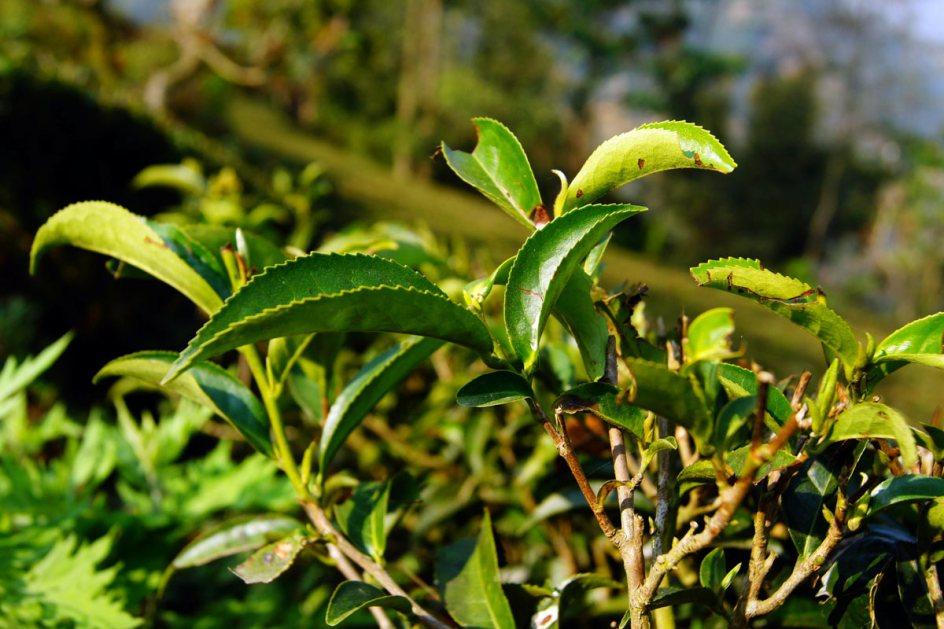 Herbata w Nepalu