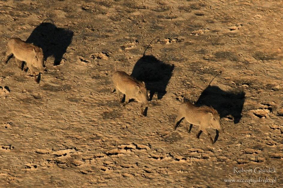 Delta Okawango w Botswanie, stado guźców, zdjęcia - Robert Gondek