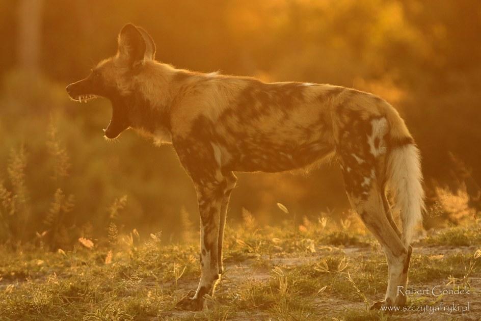 Botswana - Robert Gondek. Dziki pies w rezerwacie Moremi