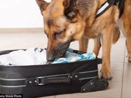 Perros detectores en los aeropuertos