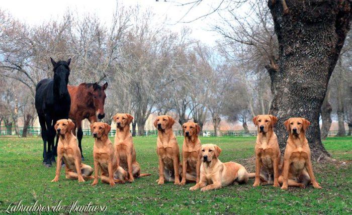 Labradores de Abantueso