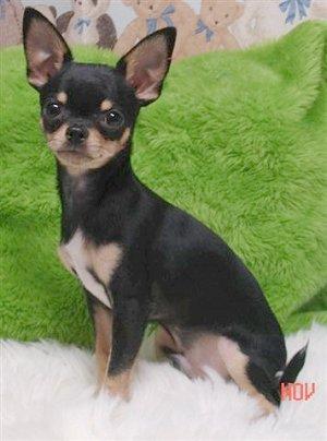Chihuahua PERROSPEDIA