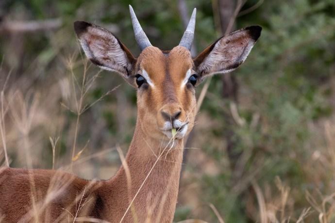 Un impala en la reserva de Hluluwe/Umfolozi, Sudáfrica