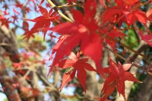 Detalle de hojas otoñales en el jardín del este del Palacio Imperial de Tokio, Japón