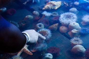 Tocando anémonas en el acuario uShaka Marine World de Durban , Sudáfrica