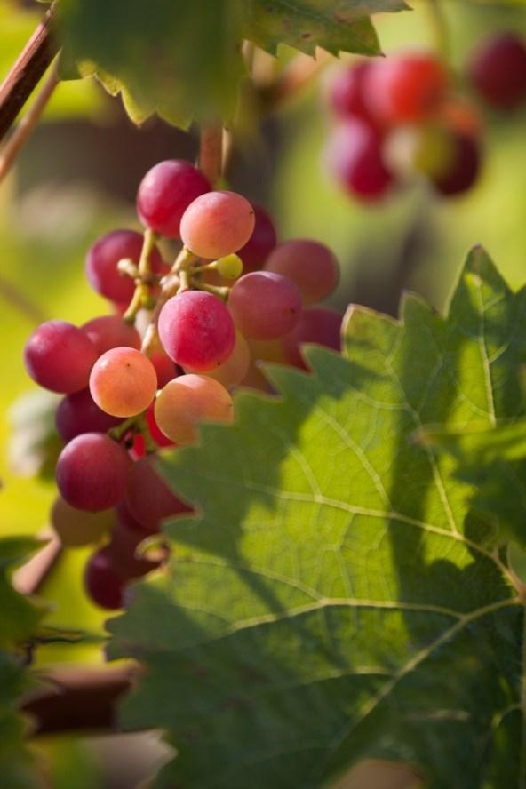 Racimo de uvas en su vid en el jardín del castillo de Cheverny, Francia