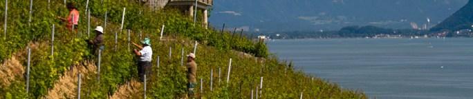 Trabajando en un viñedo en las terrazas de Lavaux, Suiza, a orillas del lago Lemán