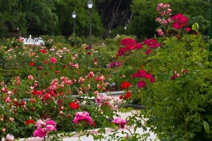 La rosaleda del Parque del Oeste en Madrid, España.