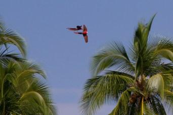 Guacamayas bandera sobrevolando la isla de Coiba. Panamá