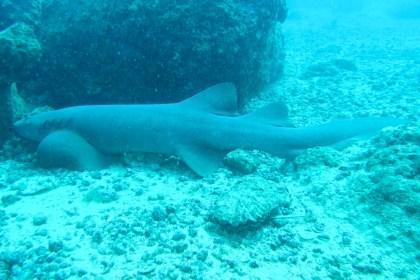 Un tiburón nodriza en el Parque Nacional Coiba, Panamá