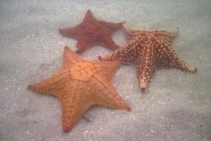 Estrellas de mar en el archipiélago de San Blas o Guna Yala, Panamá