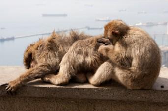 Macacos de Berbería acicalándose, Gibraltar