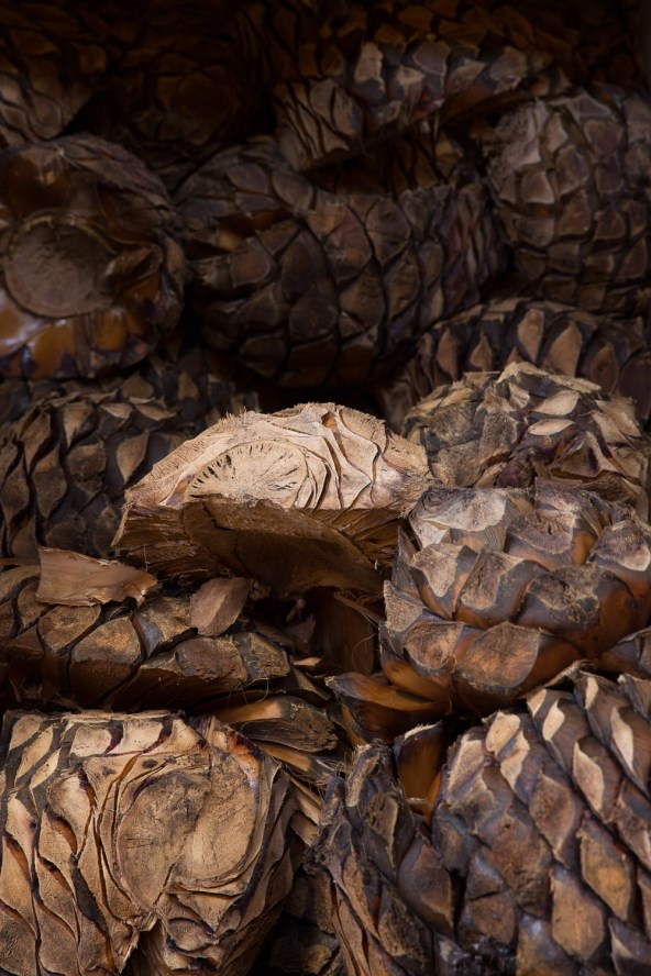 Piñas de agave cocidas, Tequila, México