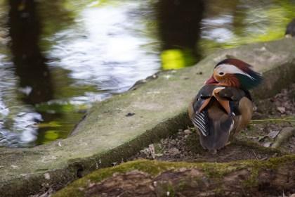 Un pato mandarín en el zoológico del Níspero, El Valle de Antón, Panamá