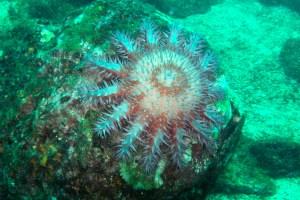 Una estrella de mar corona de espinas en Isla Coiba, Panamá