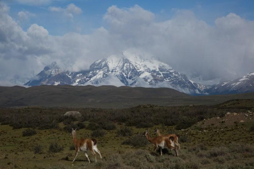 Guanacos y macizo del Paine, Chile