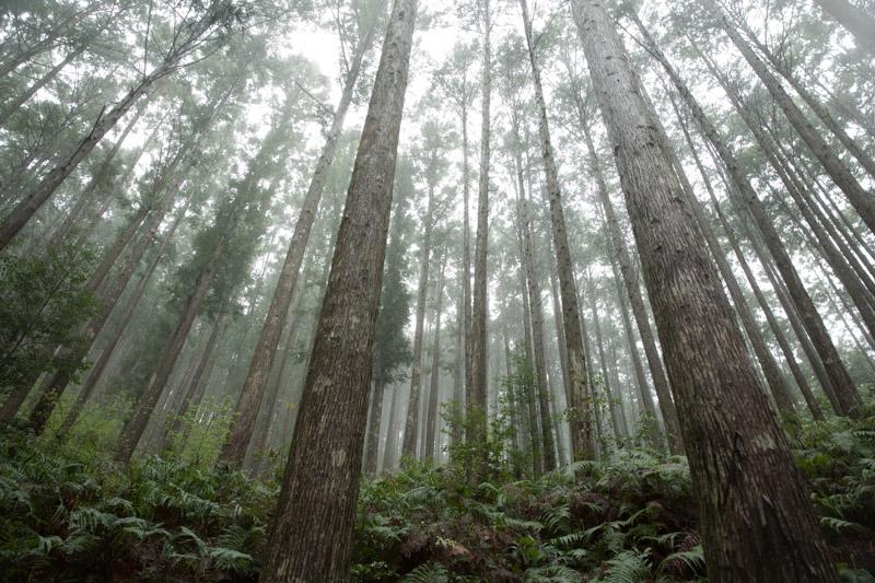 Bosque de cipreses entre Hosshinmon-oji y Kumano Hongu Taisha, Japón