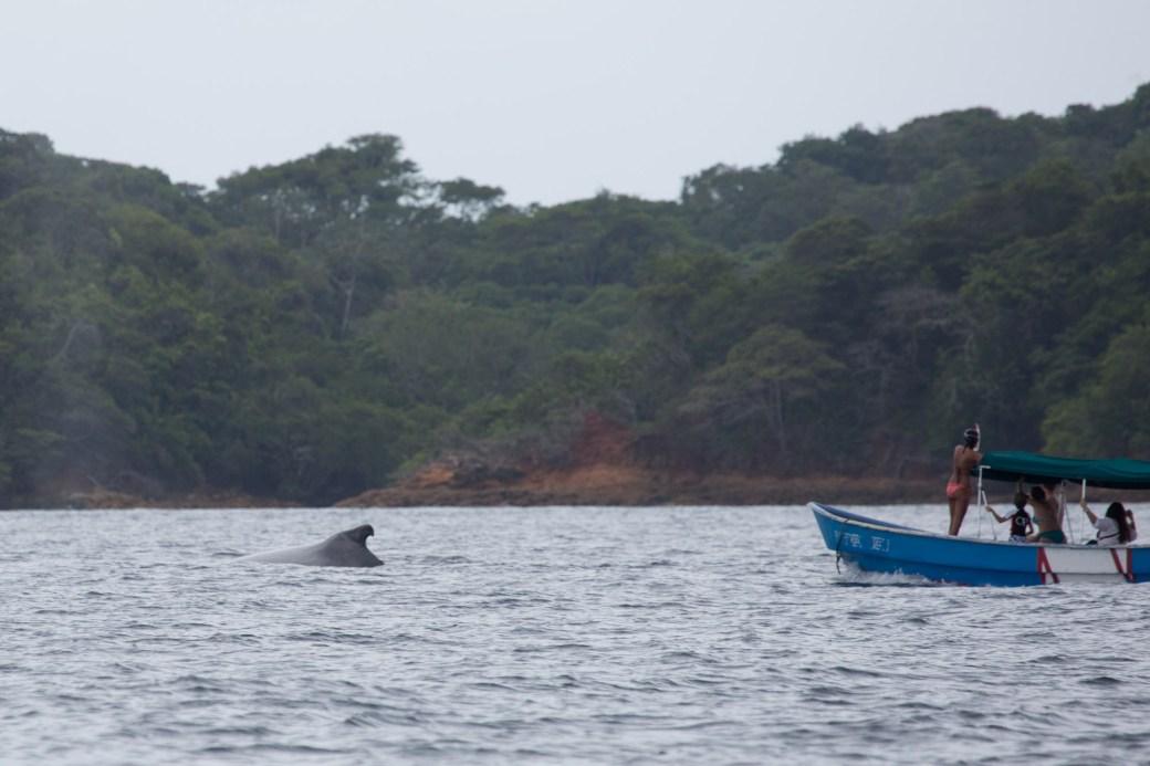 Acoso a ballena jorobada en el archipiélago de Las Perlas, Panamá