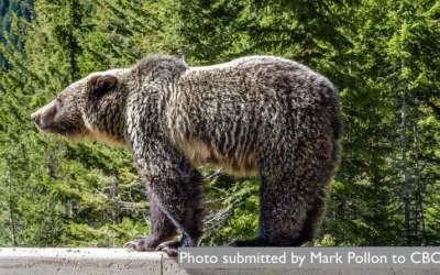 خرسهای کانادا از خواب زمستانی بیدار شدهاند