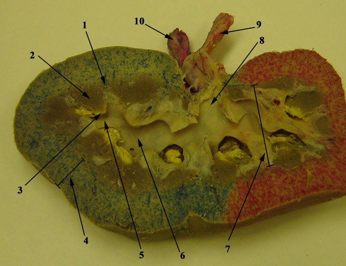 Coronal Section Of Pig Kidney