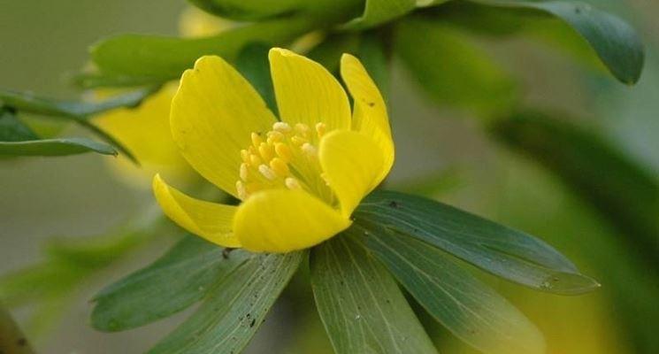 L'Eranthis Hyemalis, giallo come il primo sole di primavera