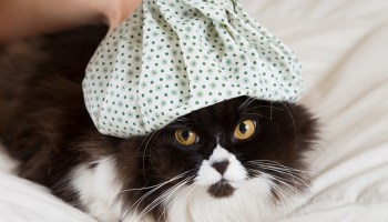 Cat flu perth cat hospital perth cat vets do cats get the flu ccuart Image collections