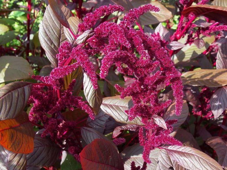 Amaranthus Cruentus.