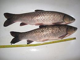 amur - grass carp