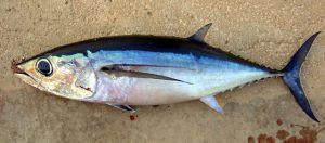 Bónító nombres de peces