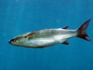 Chelon Labrosus nombres de peces