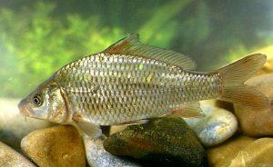 Cyprinus nombres de peces e imagenes