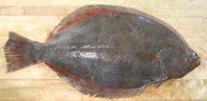 Paralichthys Dentatus