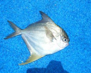Peprilus Alepidotus