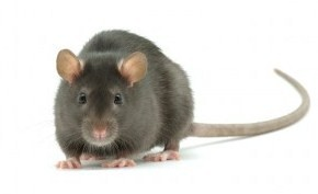 Image result for uk rat