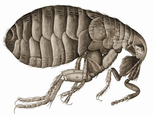 Fleas A Risk To Dogs And Other Pets